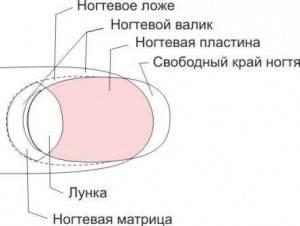 строение ногтя фото